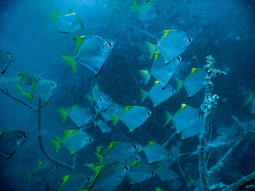 Bay Of Bengal Pondicherry Yellow Fusiliers Ghost 18 Dive Site