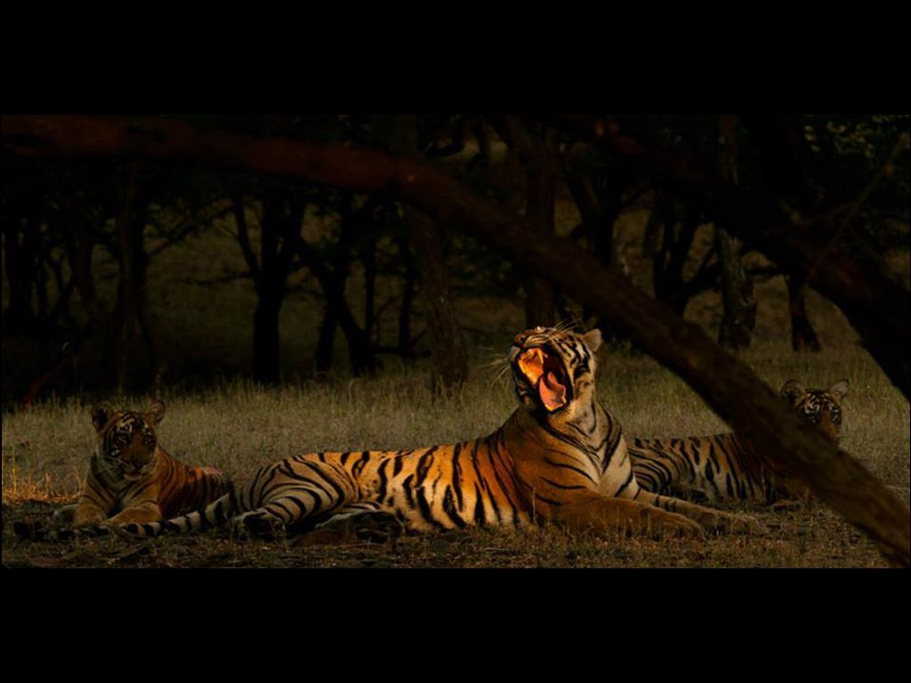 """Krishna the tigress is bathed in golden light of dawn filtering through the foliage as day breaks in Ranthambore. She is flanked by two of her cubs."" Photo: Souvik Kundu"