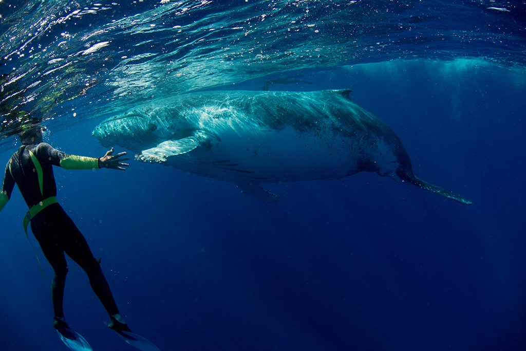 Humpback Whale Playing Sea Diver