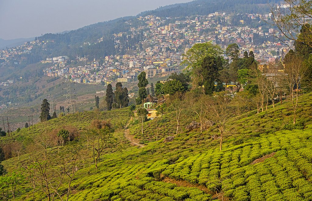 Tea plantation Darjeeling West Bengal