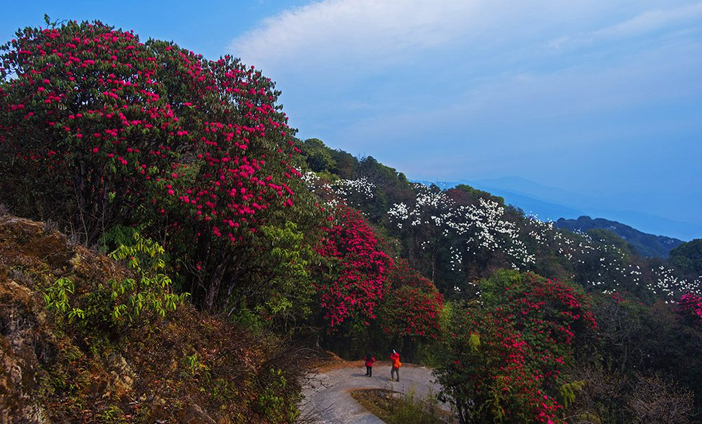 Rhododendron Flower West Bengal Singalila National Park