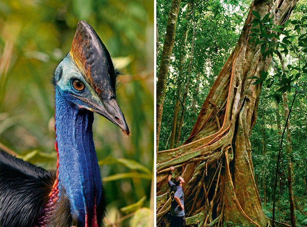 Unique to Australia, the flightless cassowary bird lives a solitary existence for most of its life. It is integral to the survival of many of the plants of this rainforest; Roots of the giant buttress tree spread outwards creating support for the trunk in shallow soil. Photo: CCOPhotostockBS/Dinodia (bird), Paul Dymond/Lonely Planet Images/Getty Images (trees)