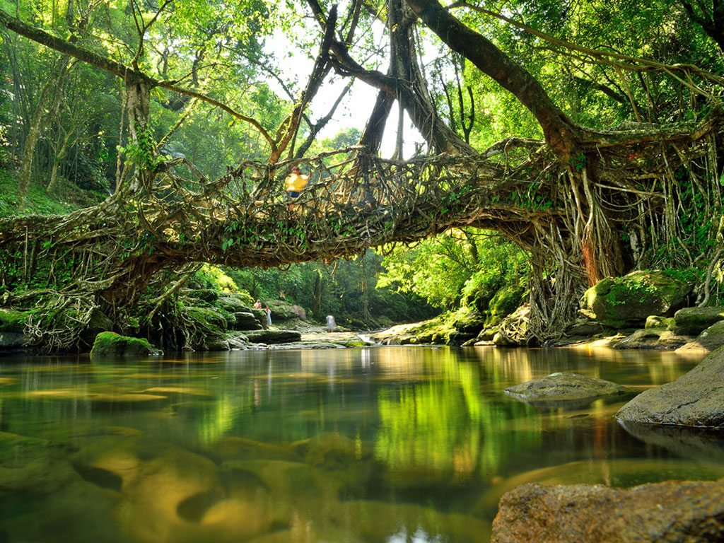 living root bridge, photo by Dipabrata Sur