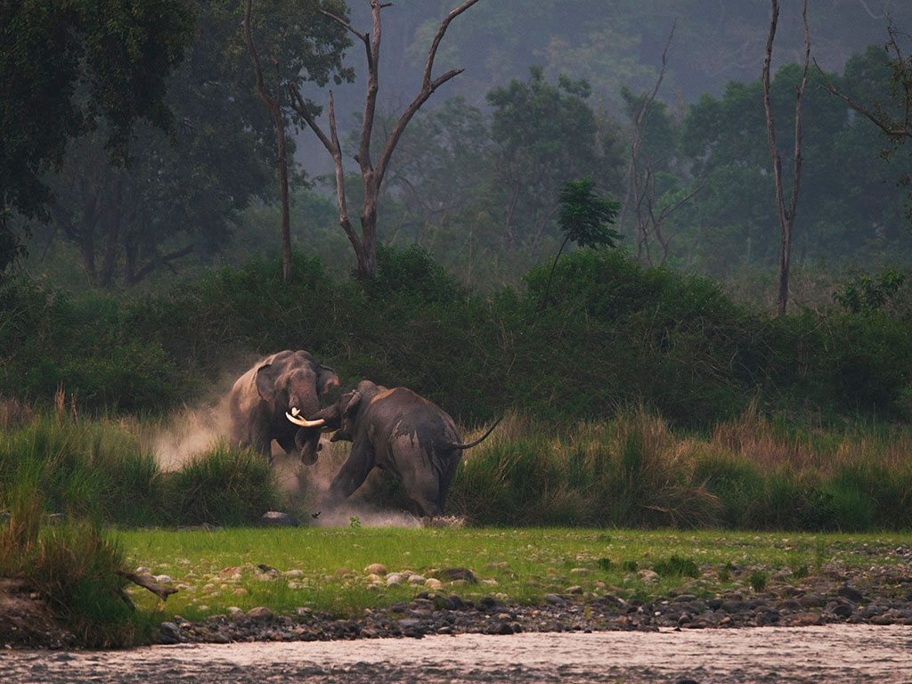 Elephant Tusker Corbett National Park