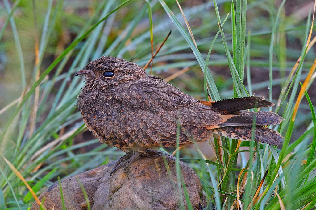 Nightjar Corbett National Park