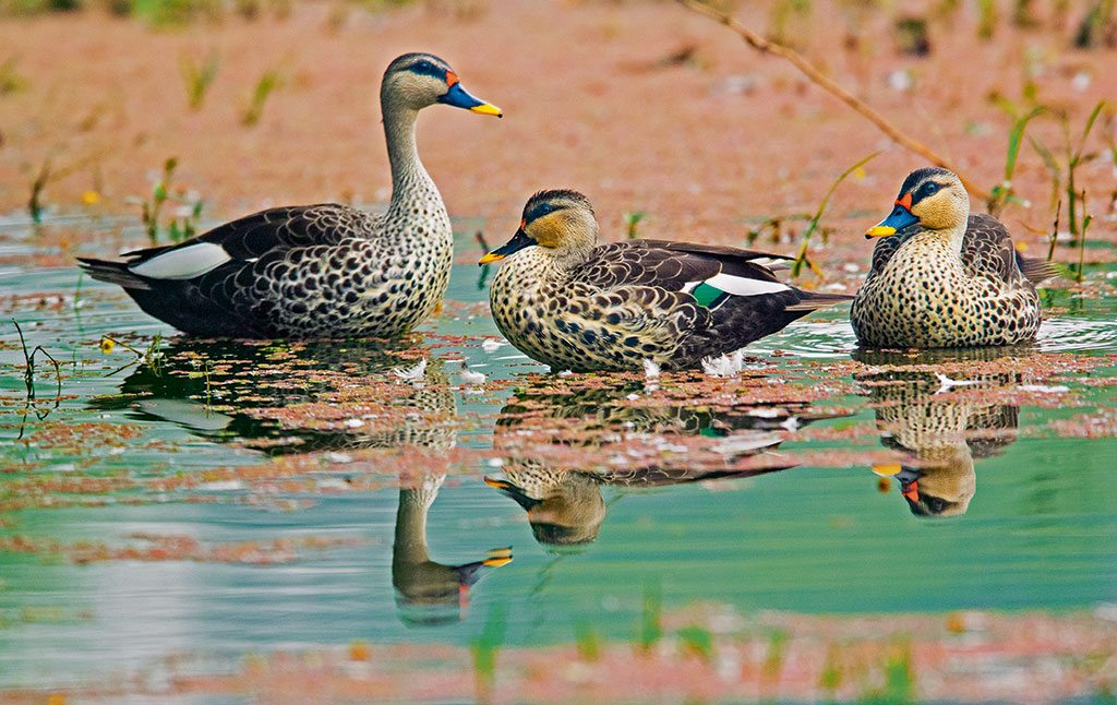 Spot billed ducks Bharatpur Rajasthan