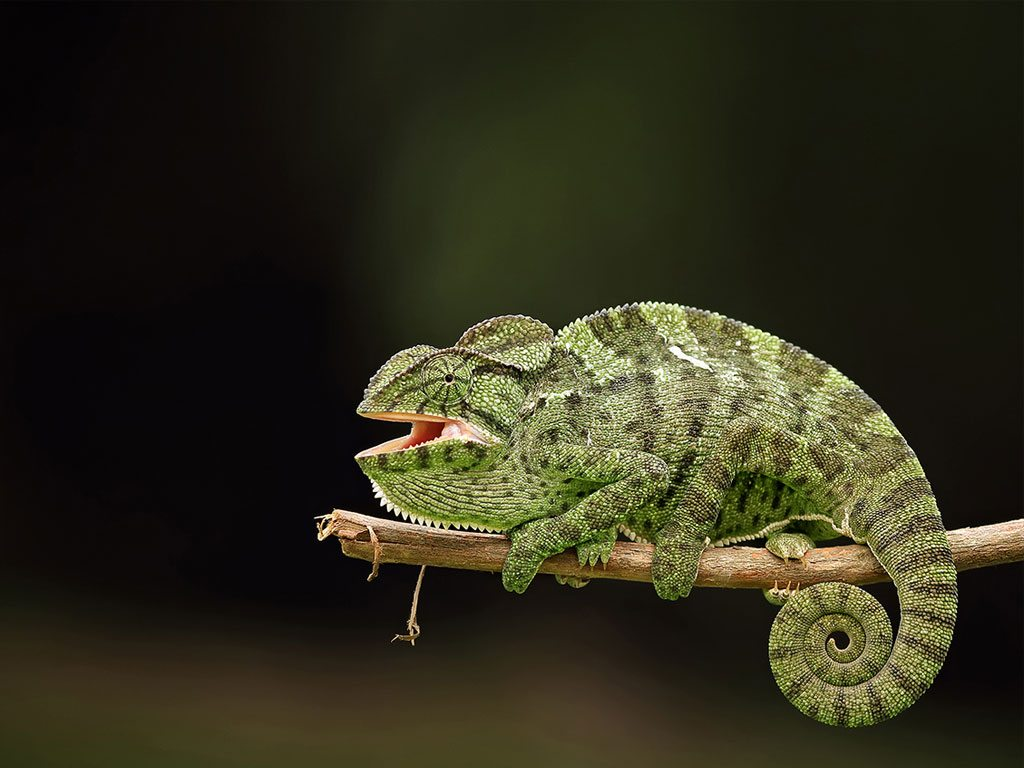 indian chameleon, photo by DK Pattnayak