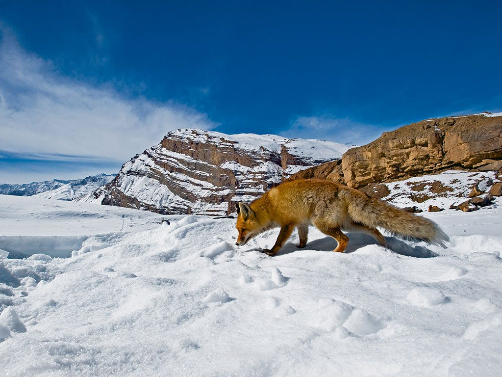 The red fox is a survivor. It eats everything, from large insects to berries. This trait allows it to thrive in Ladakh, where the ground is covered with snow for five to six months a year. Photo: Dhritiman Mukherjee