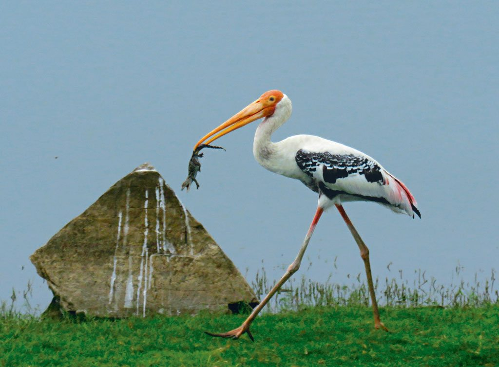 A painted stork walks off with a tiny crocodile from one of Ranthambore's lakes. Photo: Rahul Rao