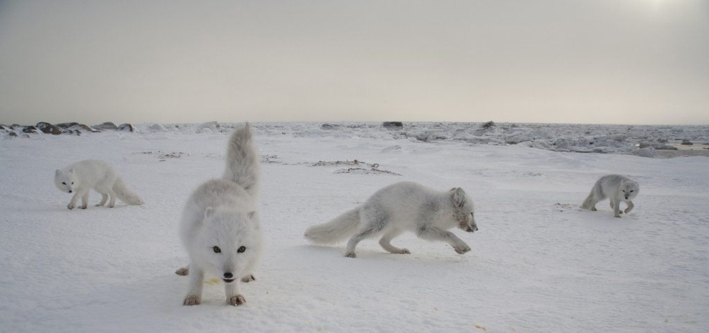 Arctic Fox (Alopex lagopus) pups playing on tundra, Churchill, Manitoba, Canada