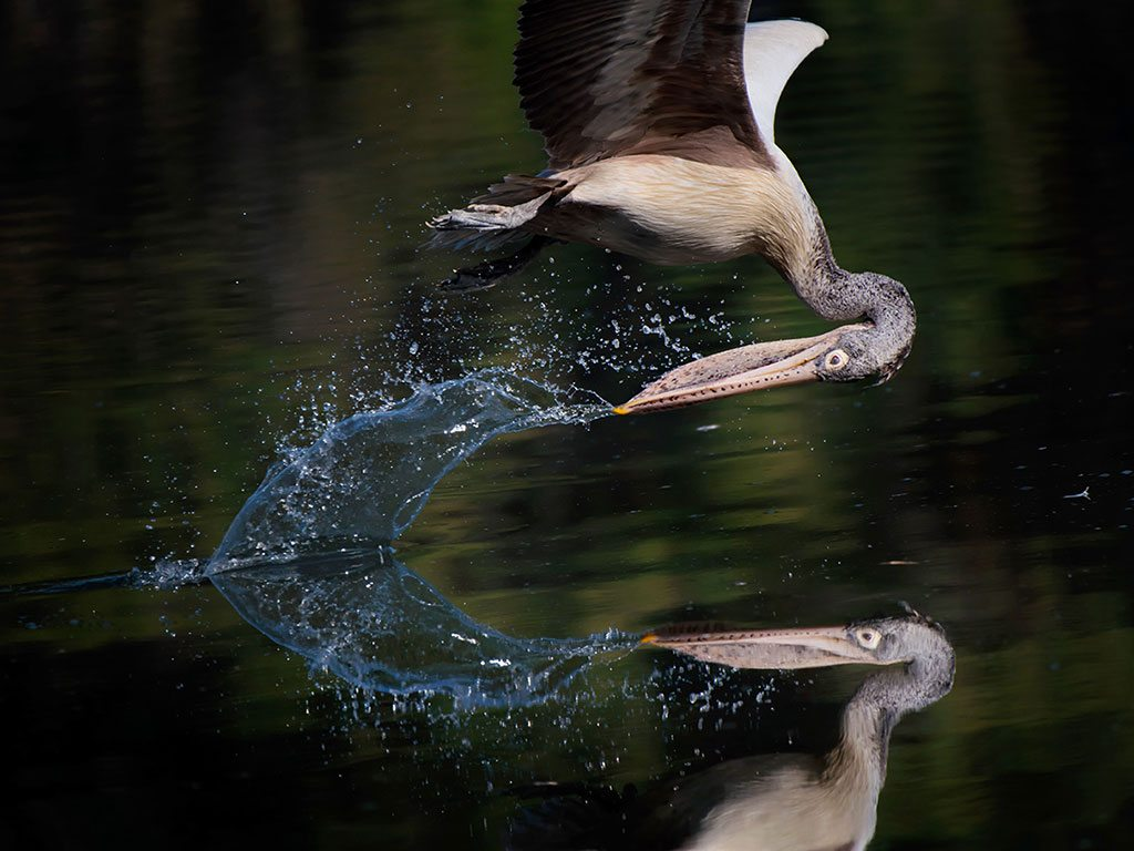 spot-billed pelican, photo by P Krishna Raja