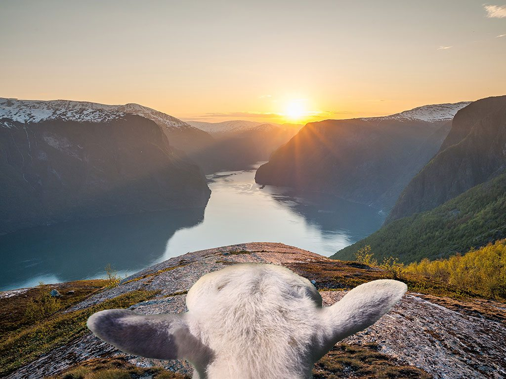Follow Norway's sheep across the country's mountains and fjords. Photo courtesy Visit Norway
