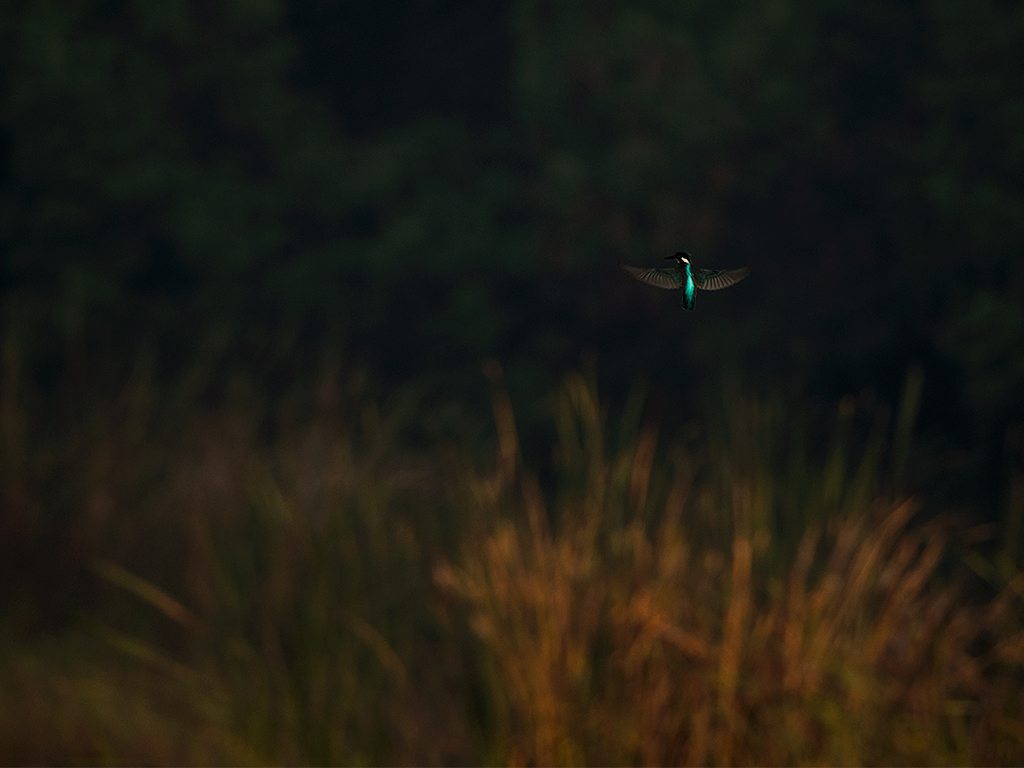 kingfisher at lokhandwala lake, photo by shashank birla
