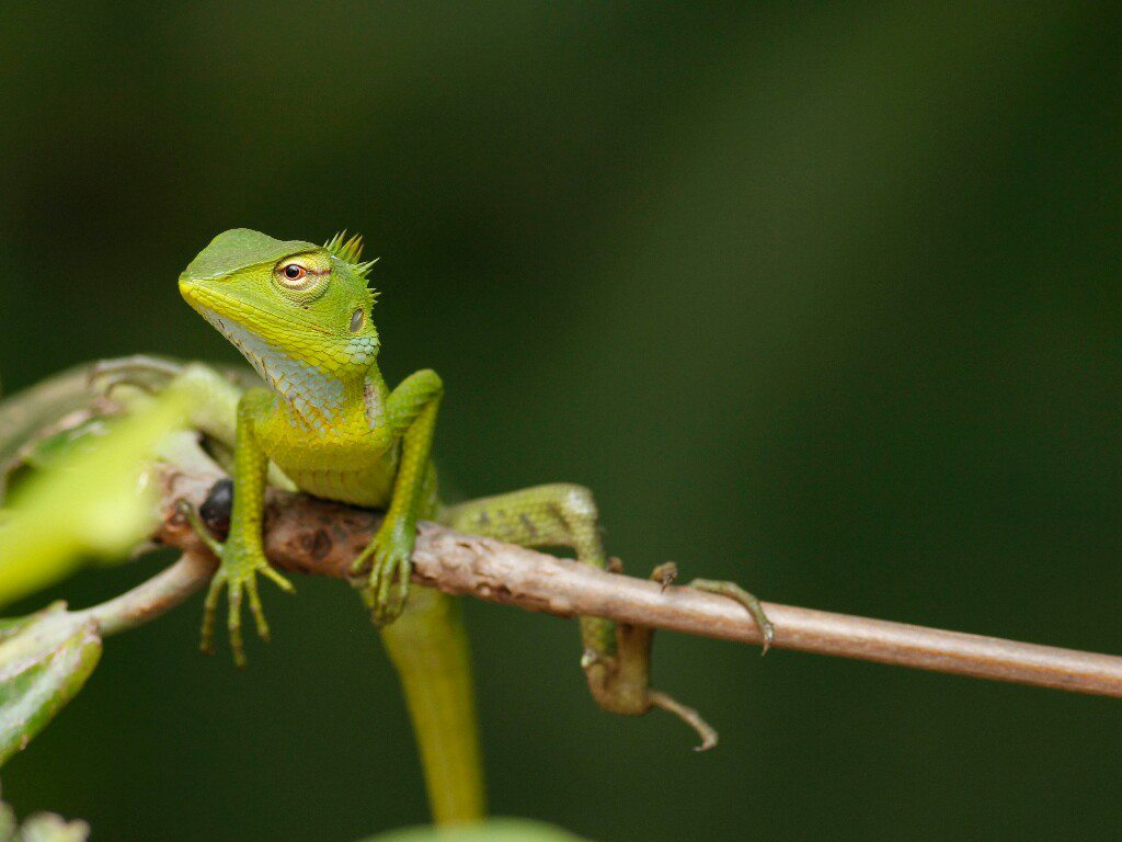 common green forest lizard, photo by Srithar Thirumalai