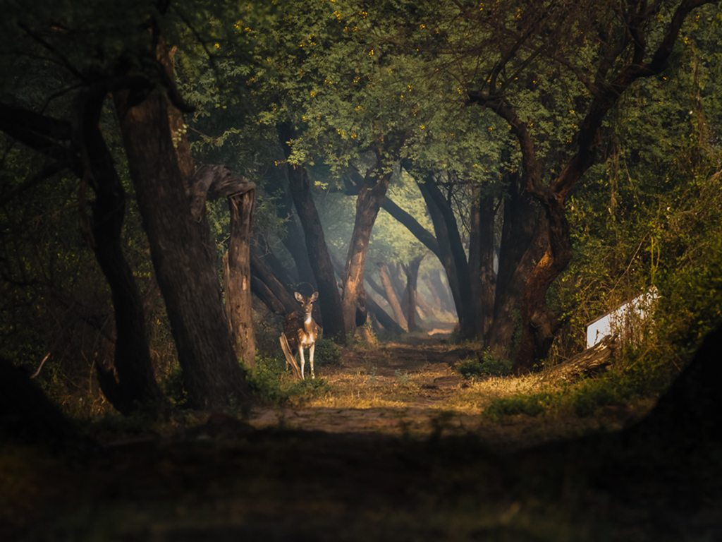 deer at keoladeo, photo by Swapan Banik