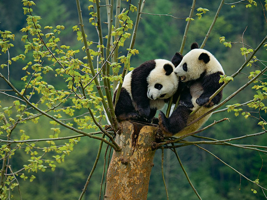 Giant pandas in the wild