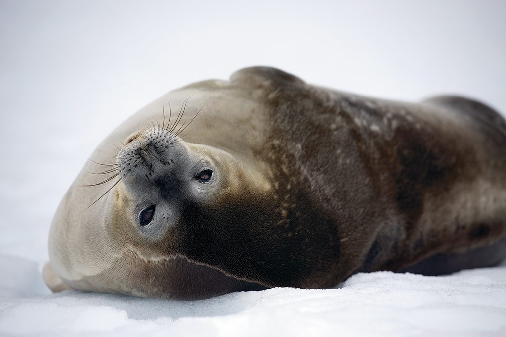Another area resident, the docile Weddell seal, lounges on pack ice. Photo: Cotton Coulson and Sisse Brimberg