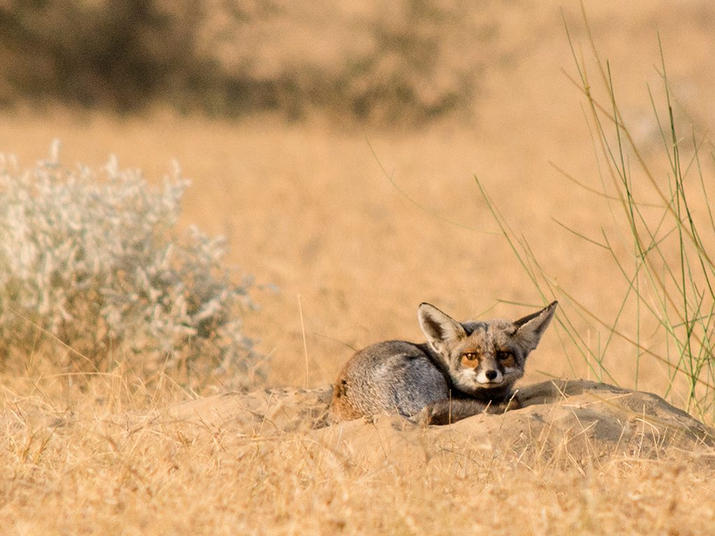 desert fox, photo by Anil Arora