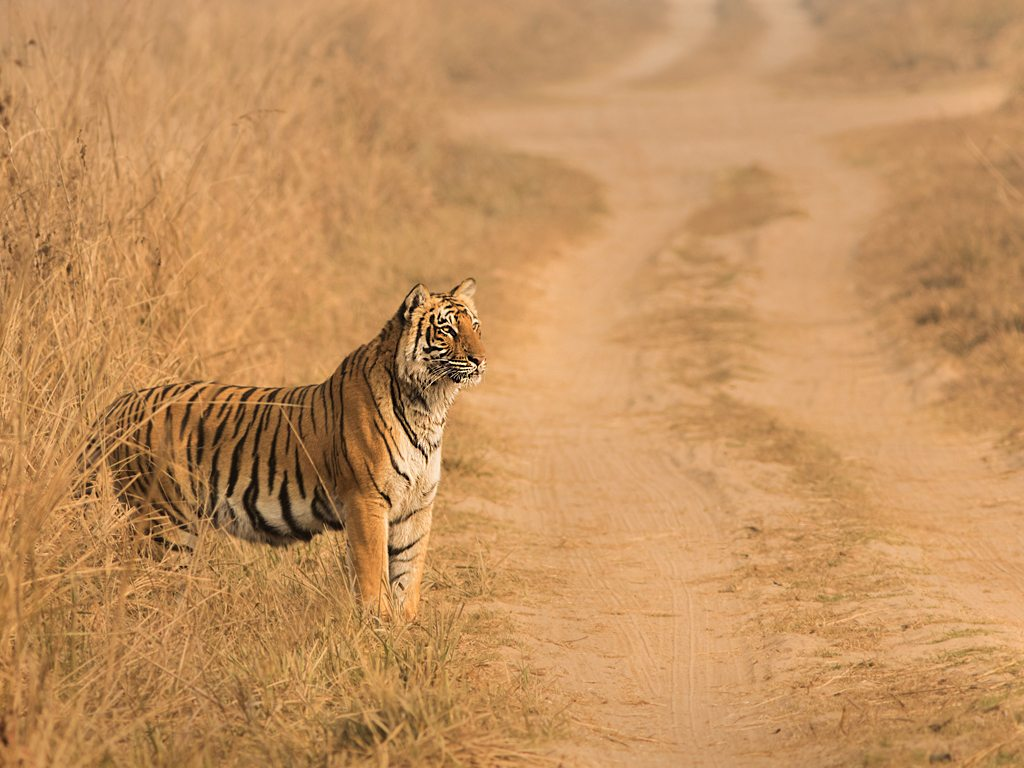 tiger in jim corbett, photo by Anshuman Kumar