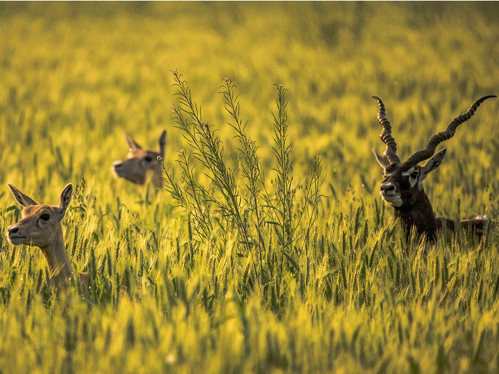 Blackbucks are often found grazing in golden grasslands across India, like this trio spotted in Madhya Pradesh's Chambal Valley.