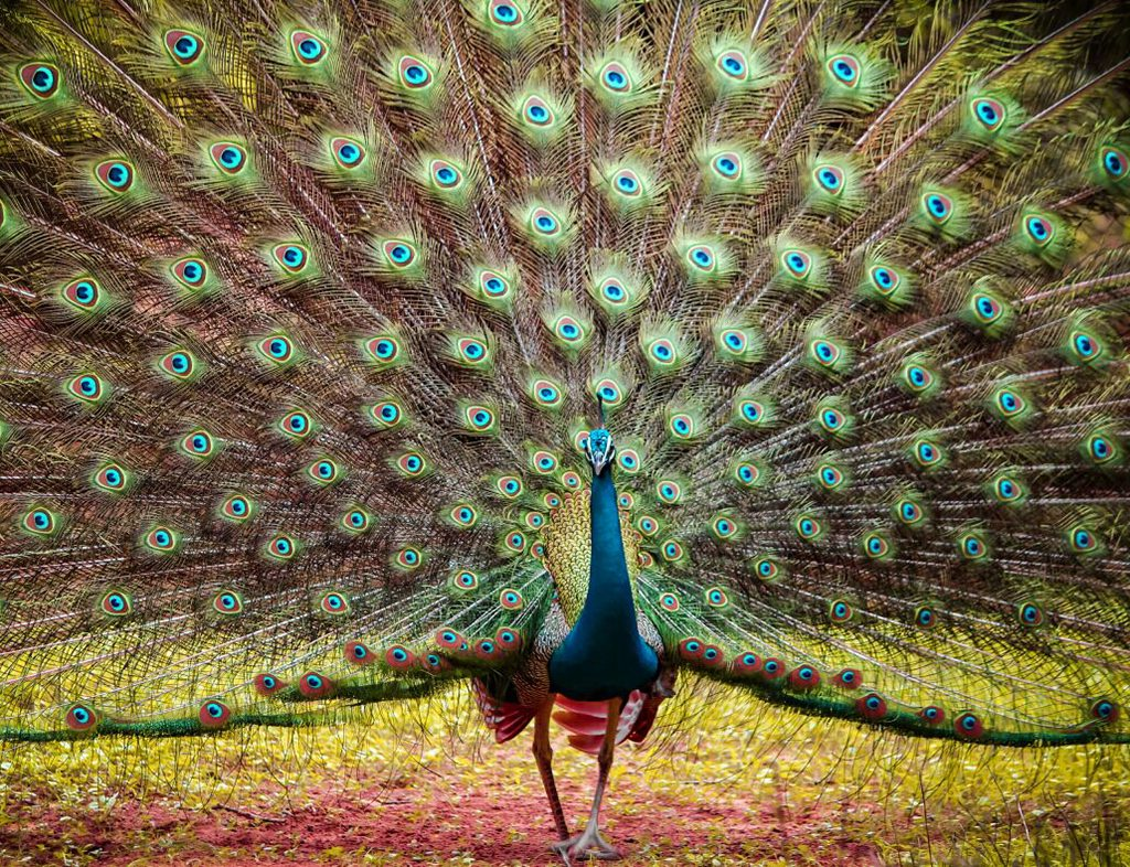 peacock, photo by Yash Darji