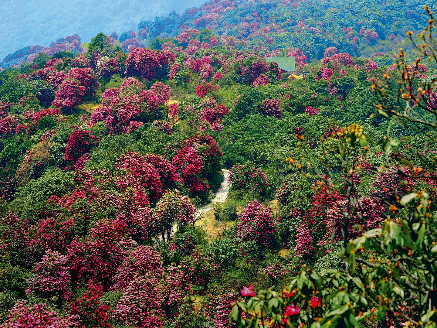 From late March to early May, rhododendrons blooming in various colours set the hillsides of Barsey Rhododendron Sanctuary ablaze. Trekking routes through the sanctuary have their share of ups and downs, but one look at the colourful show melts away all fatigue. Photo: Rishad Saam Mehta