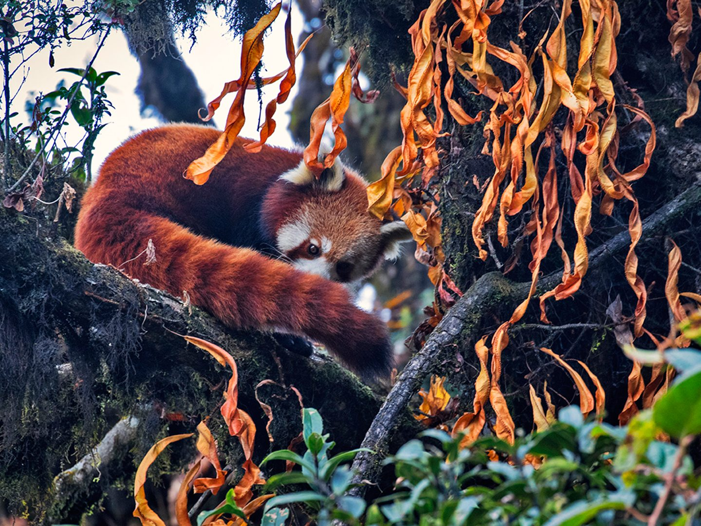 Like the black-and-white giant pandas, red pandas can also be found high altitude forests where they use their bushy tails as wraparound blankets. This furball was pictured in West Bengal's Singalila National Park.