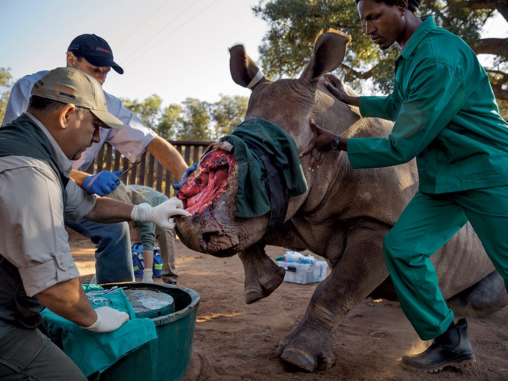 "Veterinarian Johan Marais prepares to try out a novel treatment—rubber bands used in human surgery—to close a gaping hole in this female rhino's face made in May 2015 by poachers hacking out her horn. Marais says that Hope— seen here a year later—will survive the attack. ""She's done extremely well,"" he says. ""She's got this inherent feistiness."" Photo: Brent Stirton"