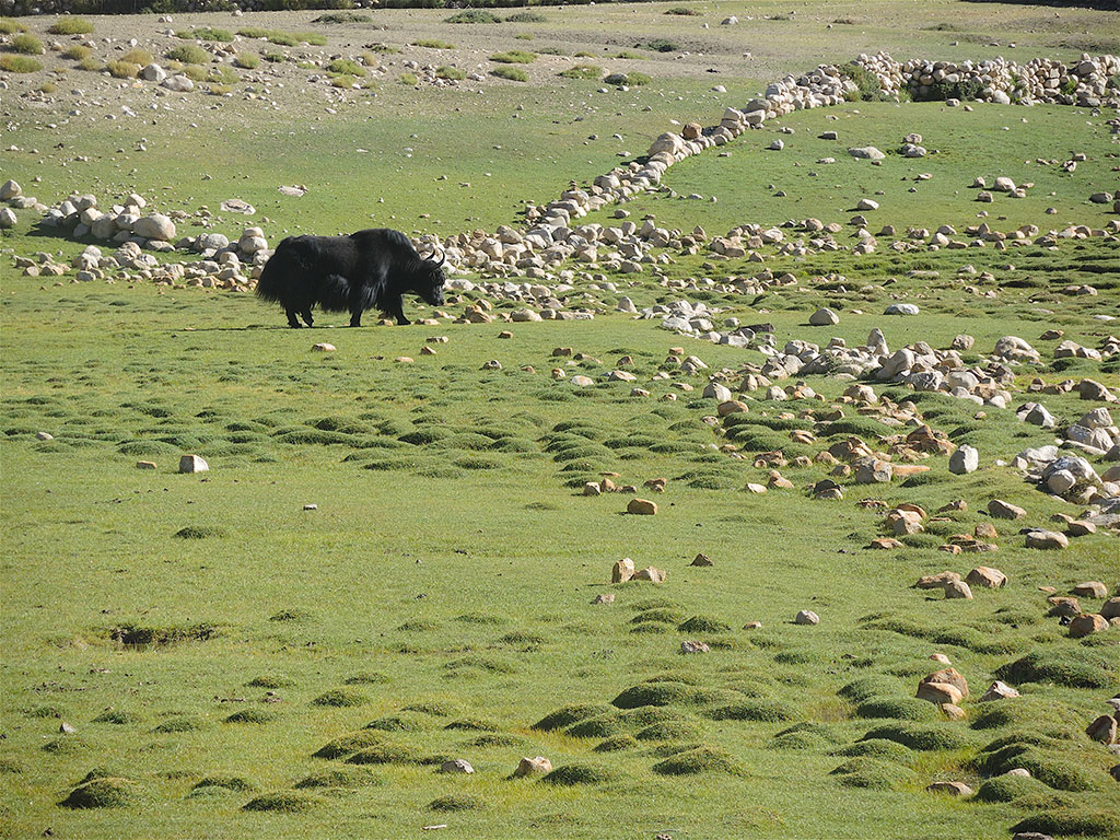 Yak Ladakh Sham Valley Ladakh India