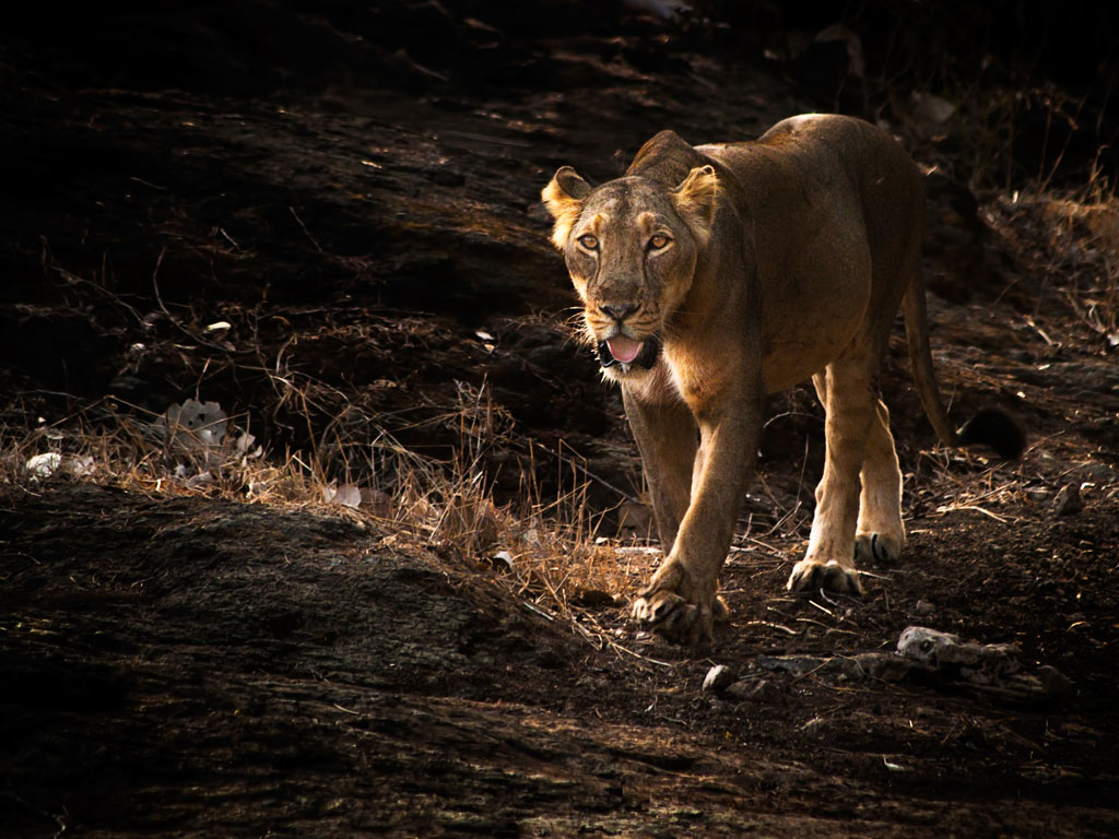 lion Gir National Park