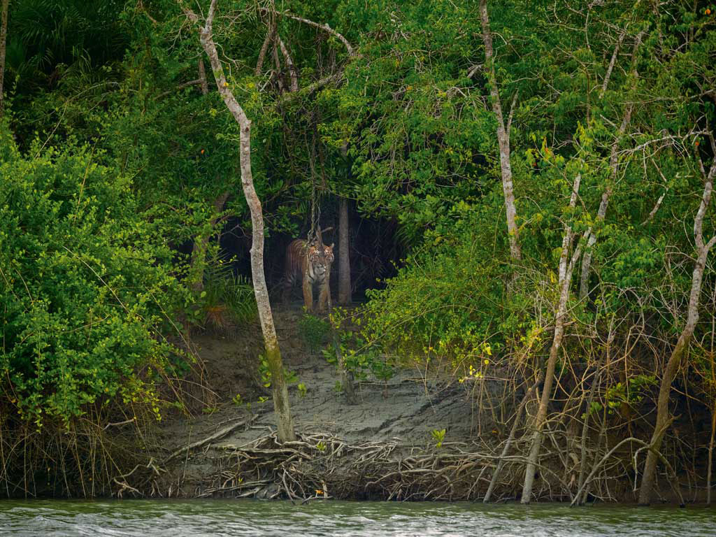 tiger Sundarbans Mangroves, West Bengal