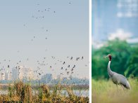 Sarus Crane in Basai wetlands