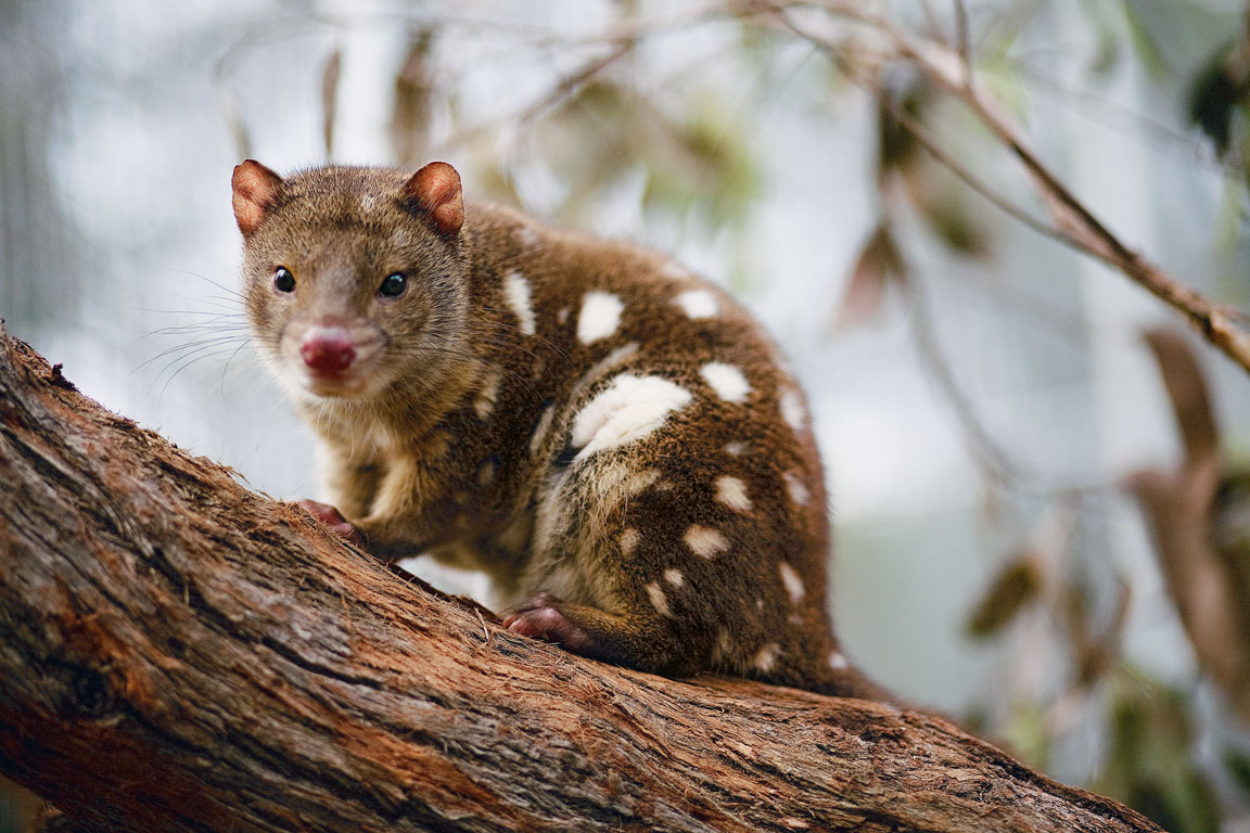 The endangered tiger quoll is distinguished by his spotted tail. Photo Courtesy: Lucia Griggi