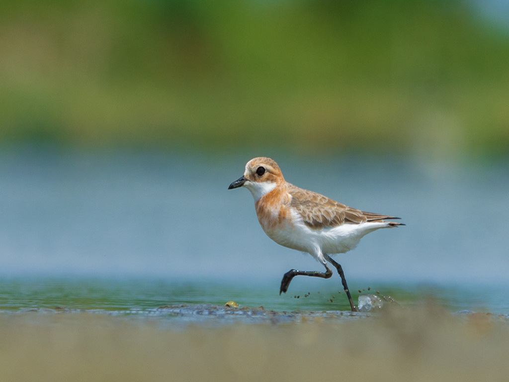 Today's Daily Shot is of a Lesser Sand Plover caught wading in Durgapur.
