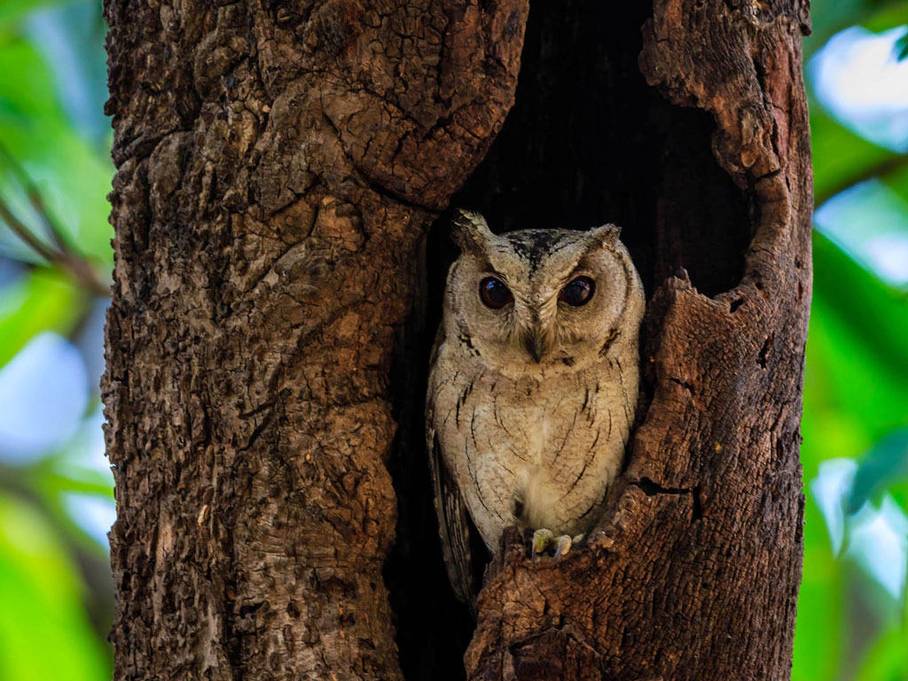 It's always a jolt to spot an owl in broad daylight; today's Daily Shot has captured an Indian scops owl in Bangalore.