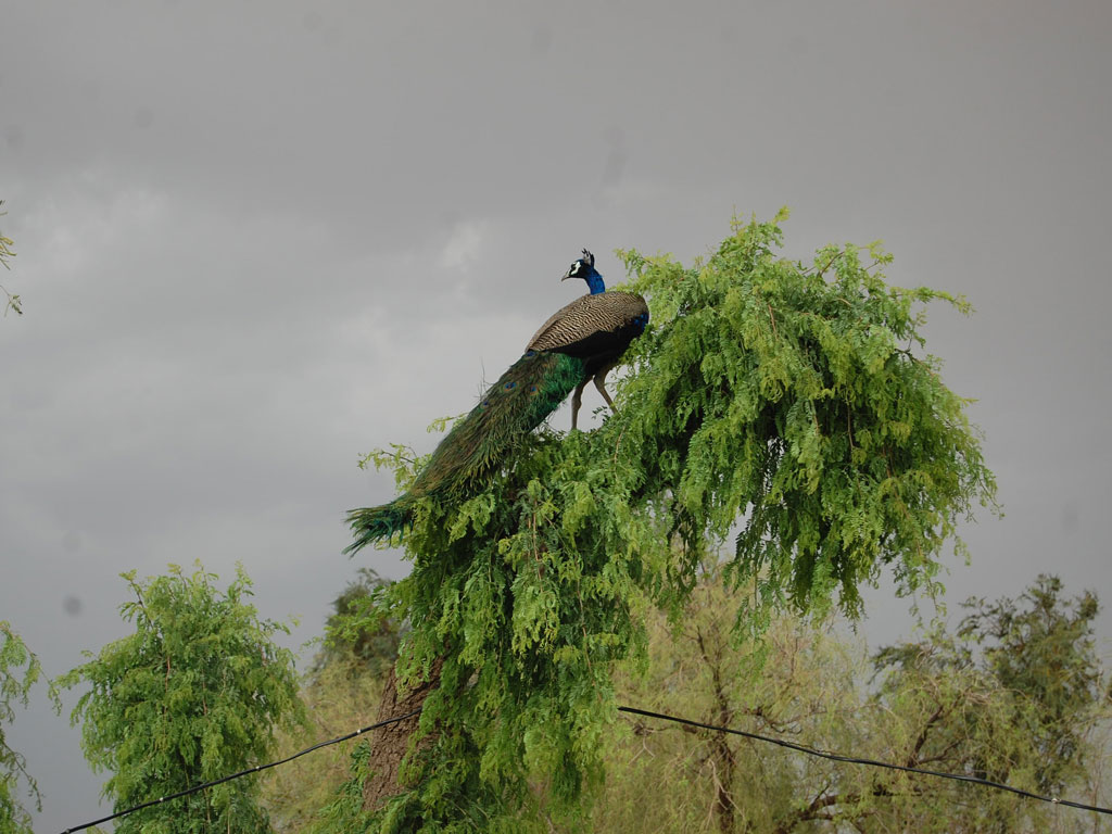 This striking shot of a perching peacock will stay with you for a while. It did for us. The picture was clicked in Bikaner.