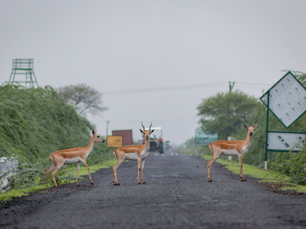 This one's a roadblock we'll willingly stop at. The picture was clicked in Velvadar National park.