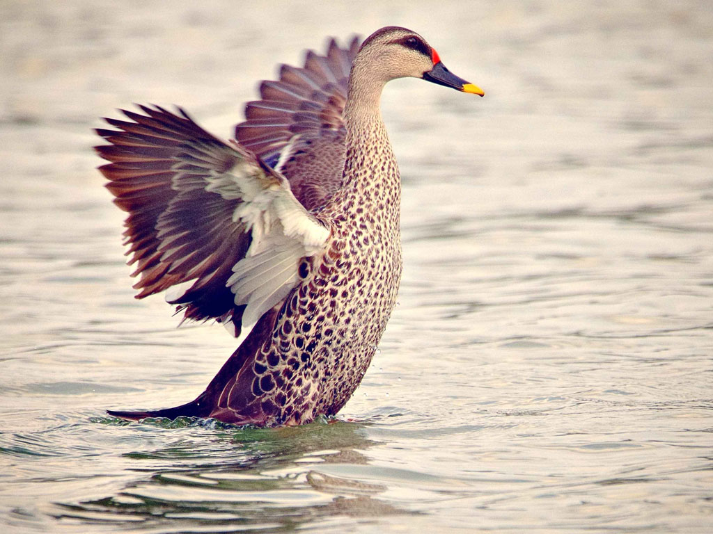 This spot-billed duck is ready to take flight. The picture was clicked in Pashan Lake, Pune.