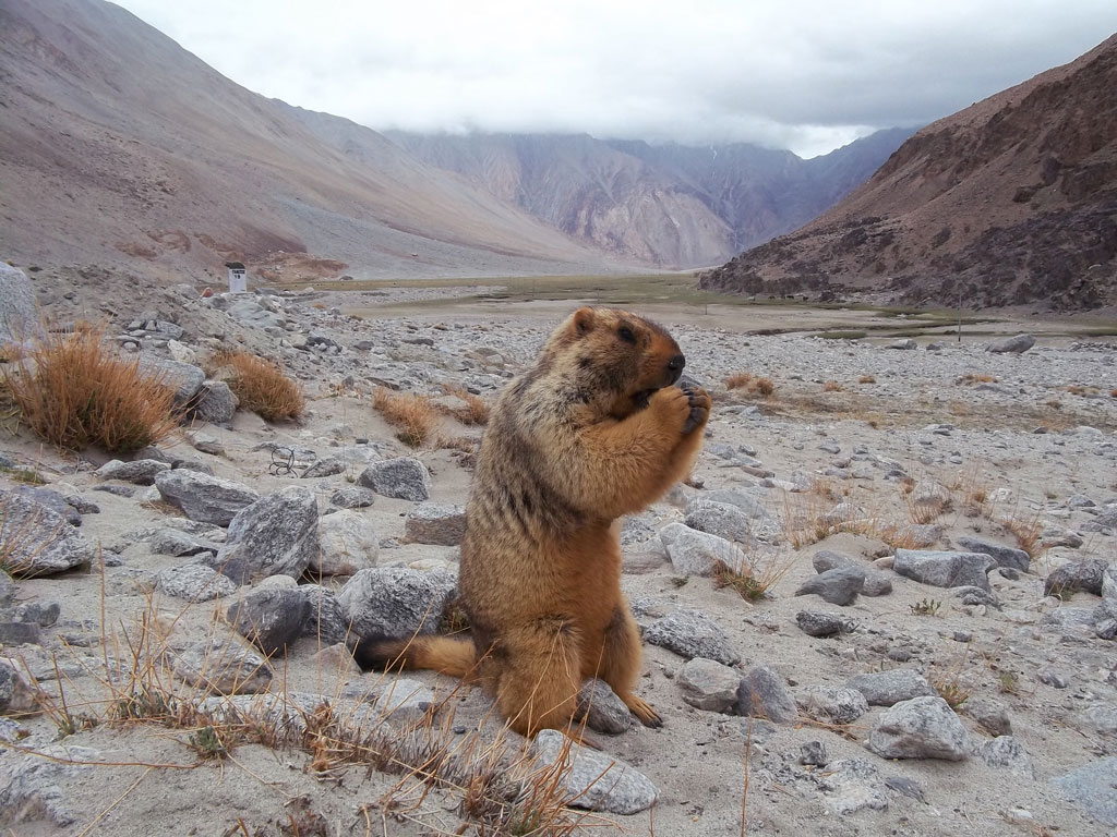 In the stark landscape of Ladakh, a Himalayan marmot stands with folded hands.