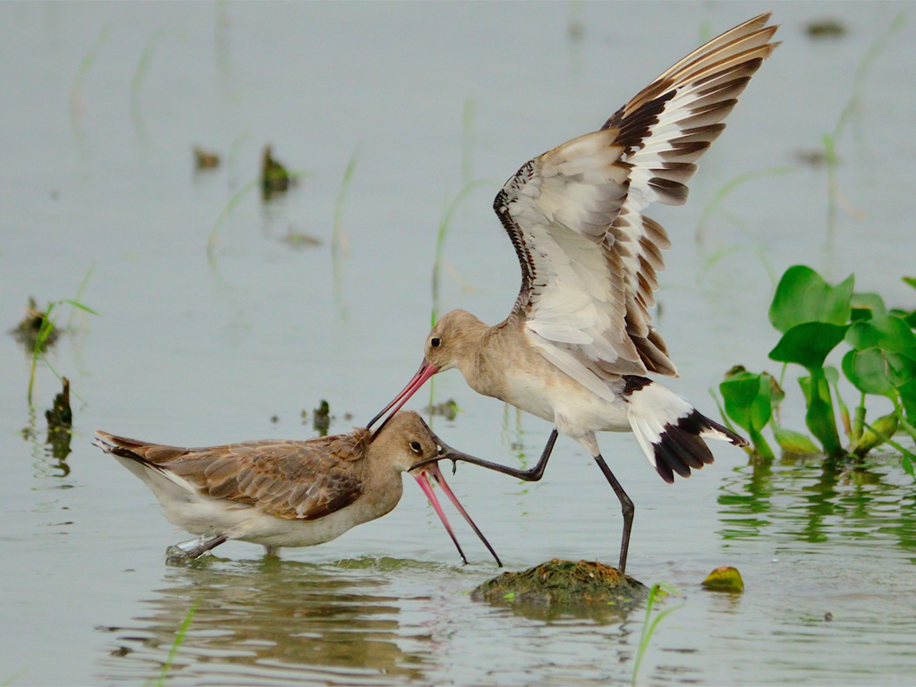 "We're choosing to title the picture of black-tailed godwits fighting ""Sibling Rivalry""."