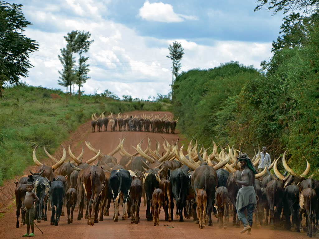 Ankole-watusi longhorn cattle are symbols of prosperity in Rwandan society. Photo by Rumela Basu.