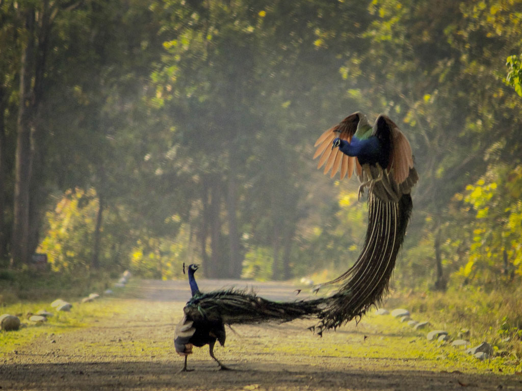 Only sheer tenacity can get such a good shot of dancing peacocks.  The picture was clicked in Rajaji National Park, Uttarakhand.