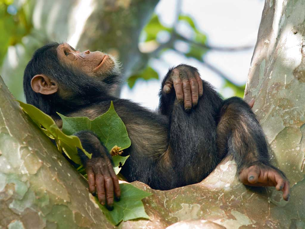Chimpanzees are the stars among the primates of Nyungwe National Park. Photo courtesy: Rwanda Development Board | High Commission of Rwanda | RwandAir | Inspiration Unlimited