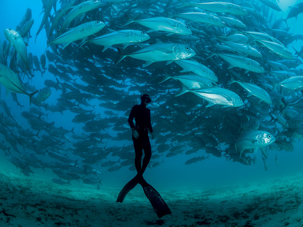 A free diver swims with bigeye trevallies in the Gulf of California near Cabo Pulmo. Since the gulf's only true coral reef became a no-take zone, biomass has increased by two to three times.