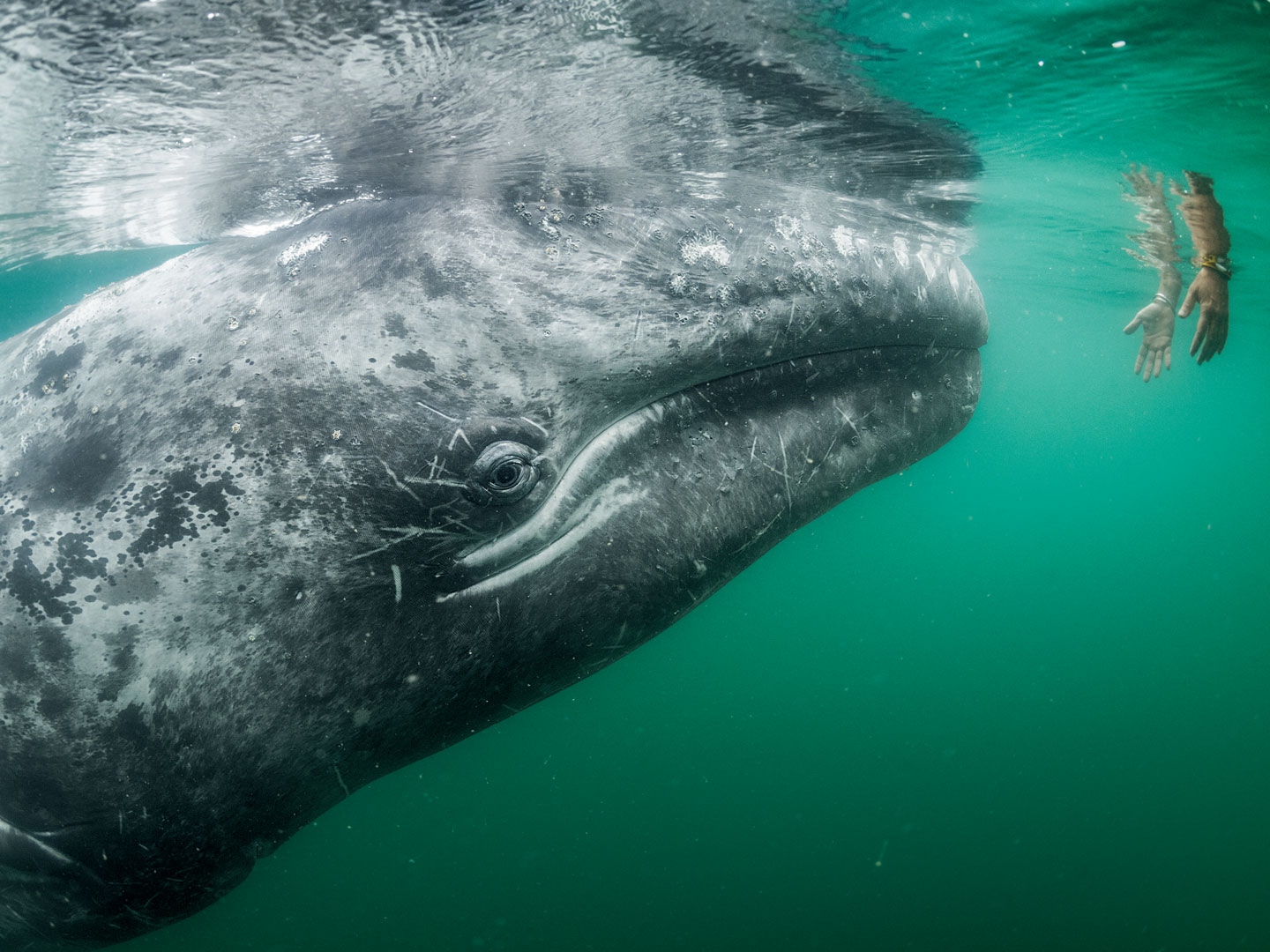 A tourist on a boat in Laguna San Ignacio reaches into the water in the hope of petting one of many gray whales that frequent the bay to mate and care for their young. Once feared by fishermen, the unusually friendly animals are now a crucial part of the economy.