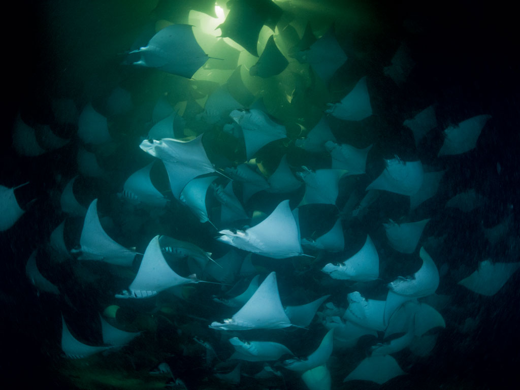 A school of pygmy devil rays gobbles up plankton near Isla Espíritu Santo, once a gathering place for sharks and rays. They declined dramatically in the 1990s as global demand for seafood soared. Since then, thanks to local conservation efforts, many populations have made recoveries.