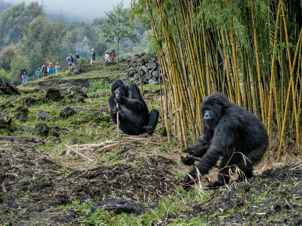 Farmers from Bisate village near Volcanoes National Park have become inured to mountain gorillas leaving the forest to feed on bamboo, planted as building material. Sometimes gorillas from the Titus group even sleep outside the park, increasing their risk of contracting a deadly disease from humans or livestock. Photo by Ronan Donovan.