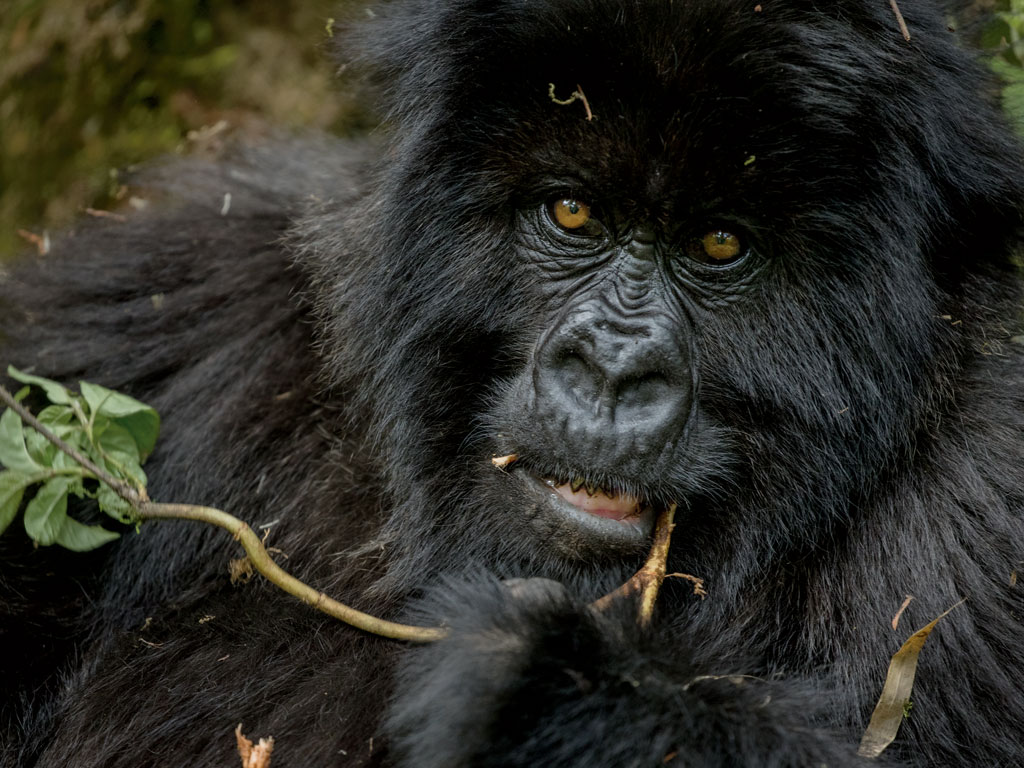 In April trackers with the Dian Fossey Gorilla Fund International found Fasha, a juvenile, entangled in a snare. Veterinarians with Gorilla Doctors removed the trap, likely saving his life. Photo by Ronan Donovan.