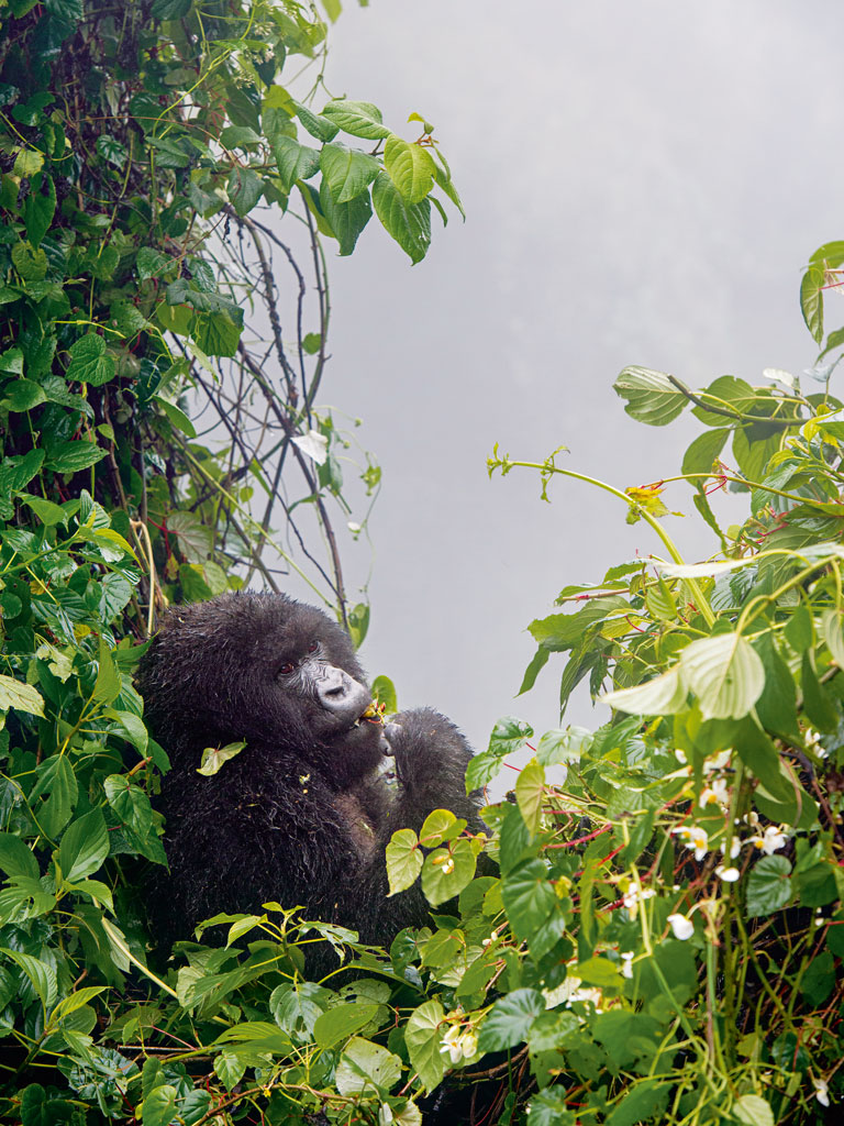 You'll want to savour every moment you have with the endangered mountain gorillas of Rwanda and Uganda. Photo courtesy: Tom Murphy/National Geographic Creative