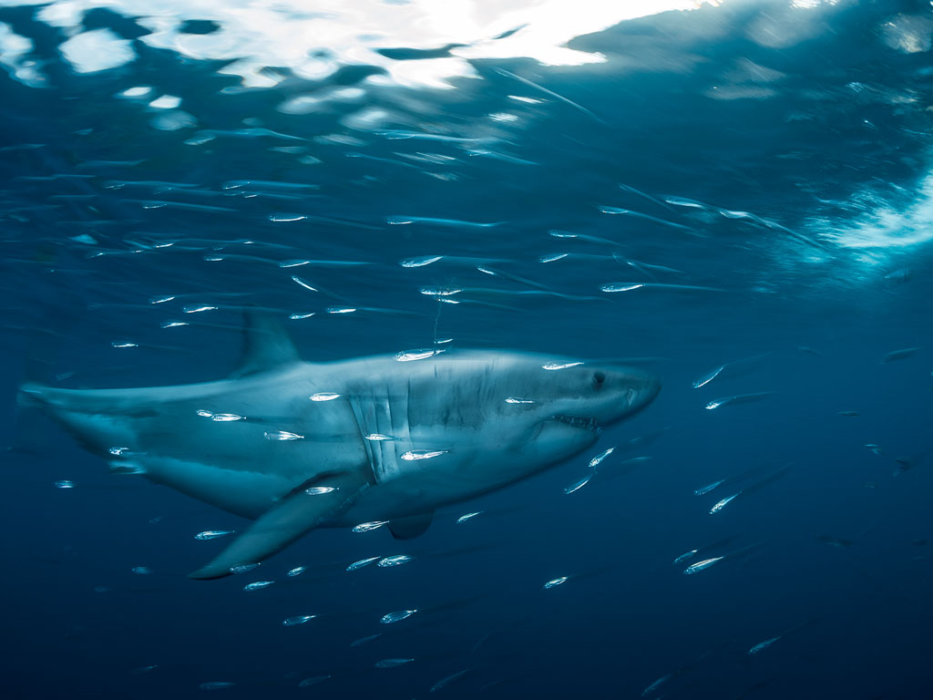 A great white shark swims in the Isla Guadalupe Biosphere Reserve, 160 miles off Baja California. As one of two places in the world where these sharks congregate in clear water, it's a magnet for adventurous dive tourists. Ecotourism in Baja brings hundreds of millions of dollars to Mexico.
